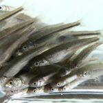 ウグイ稚魚